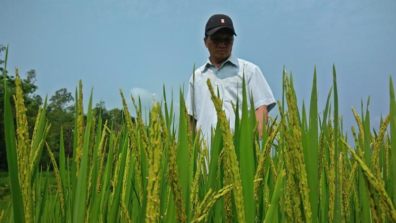 Bây giờ đồng Hóc Lách xanh tốt hai vụ lúa với năng suất 50 tạ/ha. Ảnh: ĐÔNG YÊN