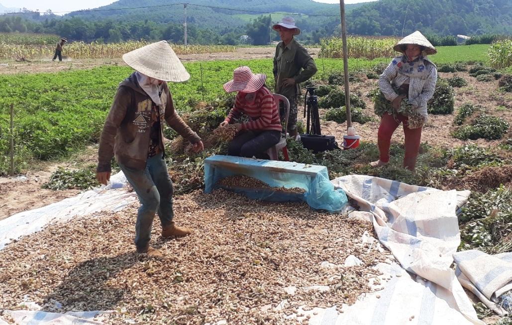 Người dân Nông Sơn phấn khởi thu hoạch đậu phụng vì vụ năm nay được mùa được giá. Ảnh: VINH THÔNG