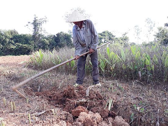 Nông dân xã Tam Thành thu hoạch nghệ. ảnh: C.N