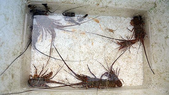 Số tôm nhí rằn ri được bắt lên từ đáy biển.