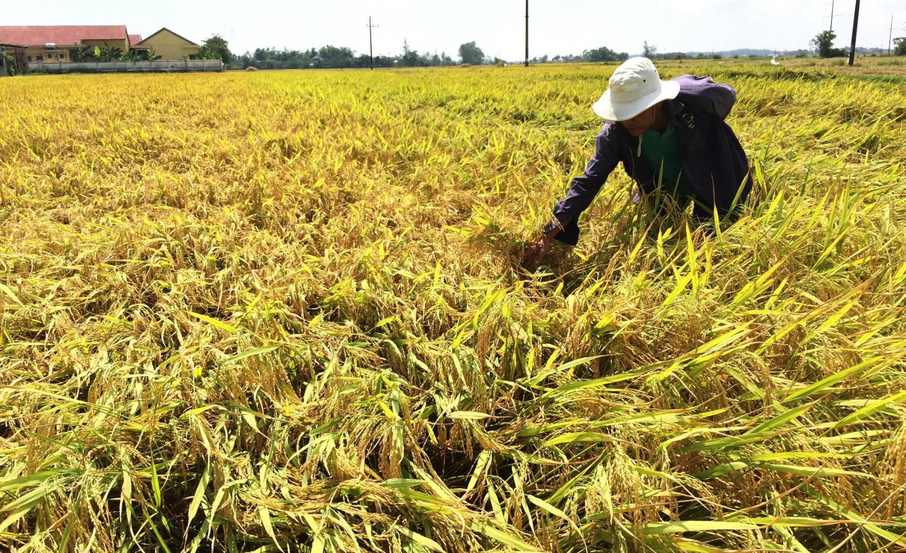 Người làng Kế Xuyên phấn khởi thu hoạch vụ đông xuân năm nay vì năng suất lúa đạt cao. Ảnh: PHAN VINH