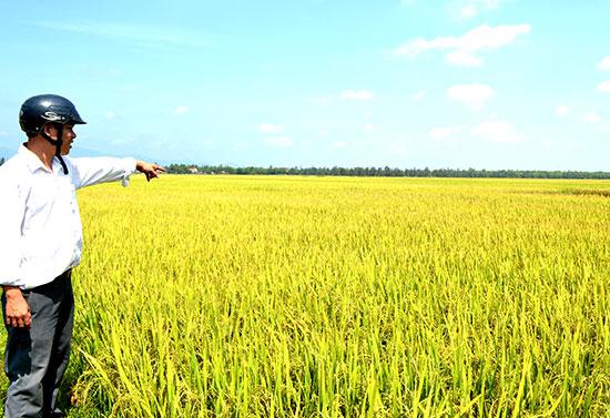 Ông Mai Văn Quân kỳ vọng sản xuất nông nghiệp hàng hóa trên cánh đồng tập trung đem lại lợi nhuận cao cho người dân. Ảnh: V.Q