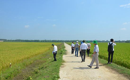 Việc chuyển đổi mục đích sử dụng đất lúa sang mục đích khác được xem xét chặt chẽ.Ảnh: HỮU PHÚC