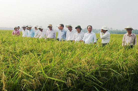 Nhờ sự hỗ trợ của các HTX, nông dân nhiều địa phương trên địa bàn Quế Sơn có thu nhập cao từ việc liên kết sản xuất lúa giống với các doanh nghiệp. Ảnh: N.S