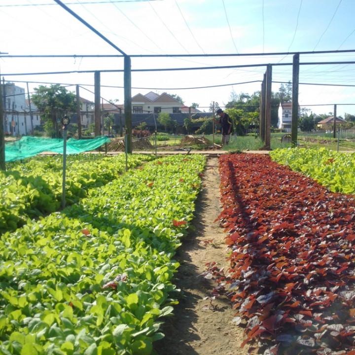 Fresh vegetables in Tra Que village. Photo: TN&MT