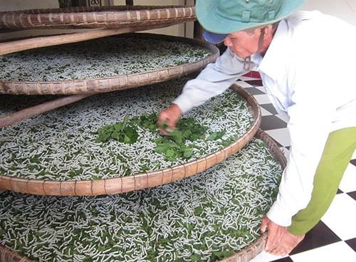 Silkworm rearing in Quang Nam