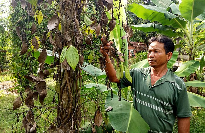 Một số cây tiêu vào mùa thu hoạch bị chết. Ảnh: THANH THẮNG