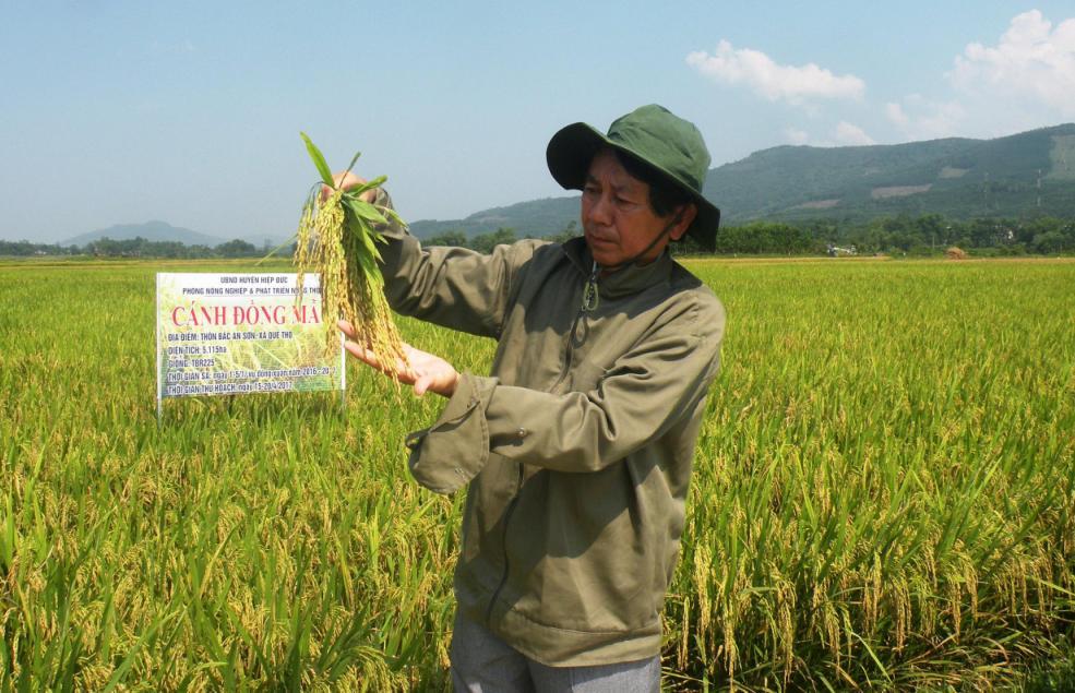 Mô hình sản xuất lúa theo gói kỹ thuật SRI tại xã Quế Thọ (Hiệp Đức) đạt hiệu quả cao. Ảnh: VĂN SỰ