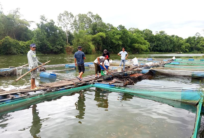 Trại nuôi cá lồng bè của anh Nghĩa được nhiều người đến tham quan, học hỏi kinh nghiệm. Ảnh: