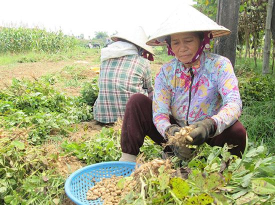 Người dân xã Duy Phước thu hoạch đậu phụng trồng trên những chân đất lúa chuyển đổi trong vụ đông xuân vừa qua. Ảnh: N.P