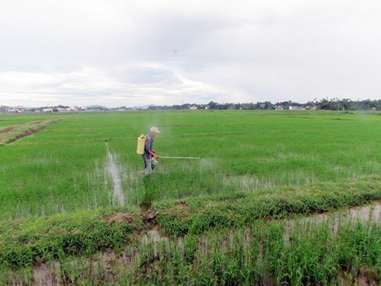 Phun thuốc diệt cỏ bảo vệ lúa hè thu. Ảnh: VĂN PHIN