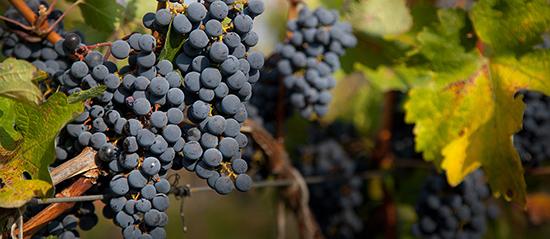 Nho ở Gruzia là giống nho hoang dã, nên rượu vang ở đây có sự khác biệt với nhiều nơi khác. Ảnh: H.V.M