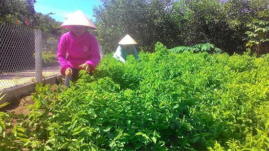 Mô hình rau sạch của chi hội phụ nữ thôn Phú Hòa, xã Tam Sơn.