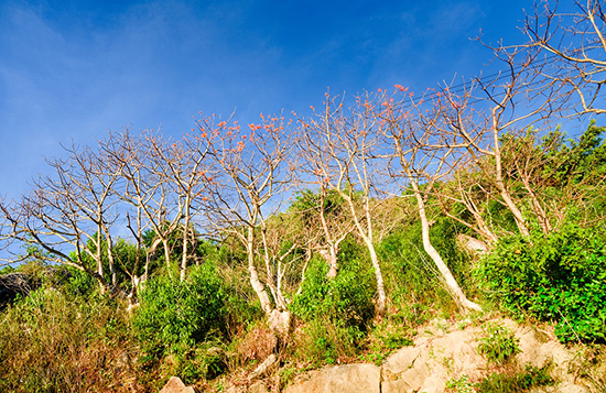 Những cây ngô đồng chớm nụ lung linh sườn phía tây đảo.