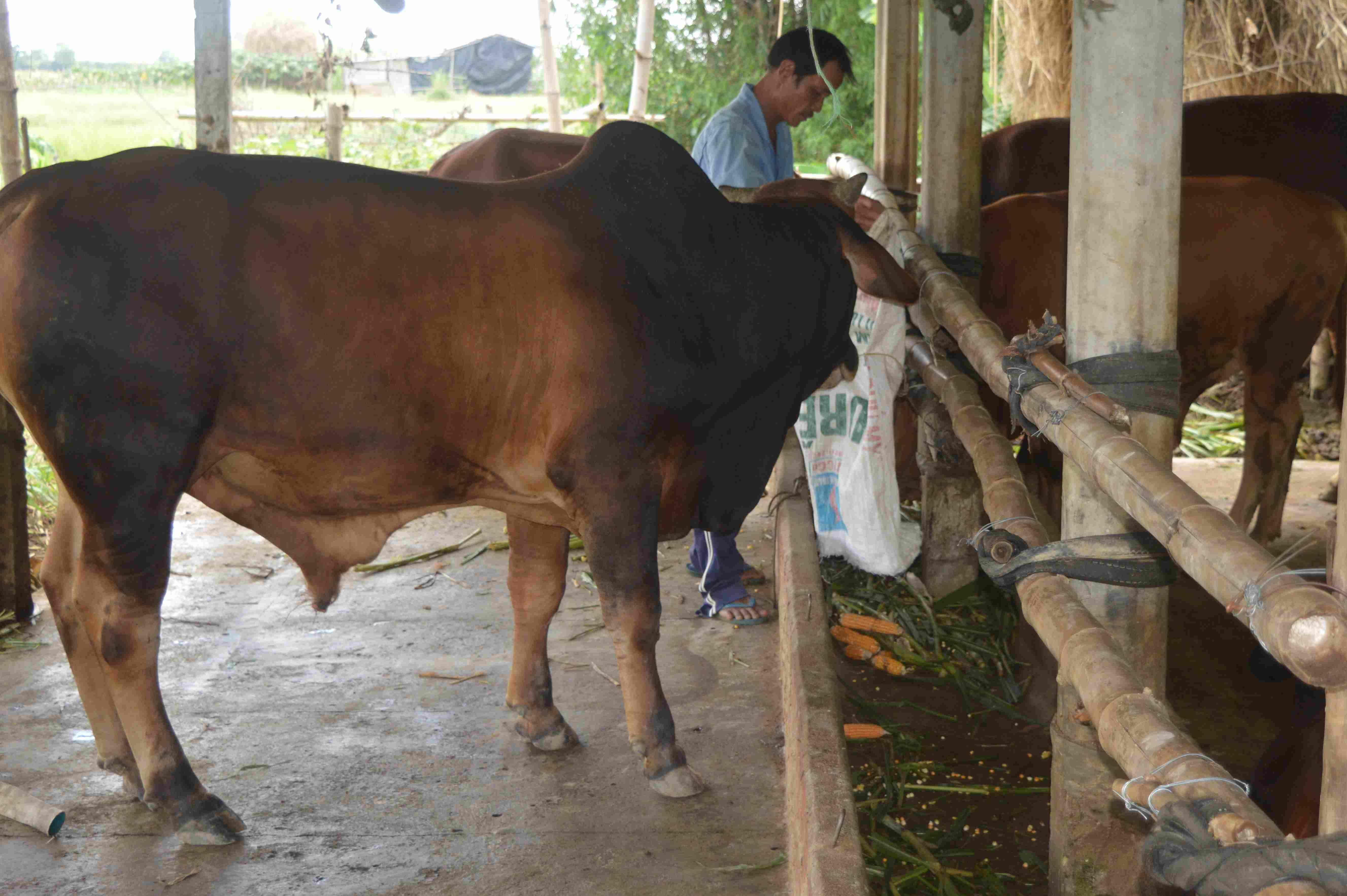 Các hộ nông dân được tiếp cận vốn vay để chăn nuôi bò lai. ảnh: Q.T
