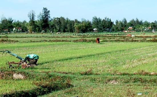 Tại các xã Bình Dương, Bình Đào, Bình Hải đã có gần 160ha đất nông nghiệp bị bỏ hoang. Ảnh: V.B.T