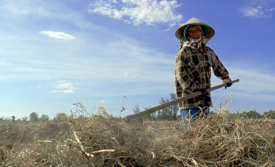 Một số người lớn tuổi, không đủ điều kiện để đi làm công nhân thì bám víu lấy đổng ruộng. Ảnh: V.B.T