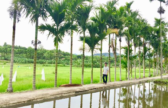 Xã Tiên An vẫn động người dân trồng cau dọc 2 bên đường để tạo cảnh quang. Ảnh: PHAN VINH