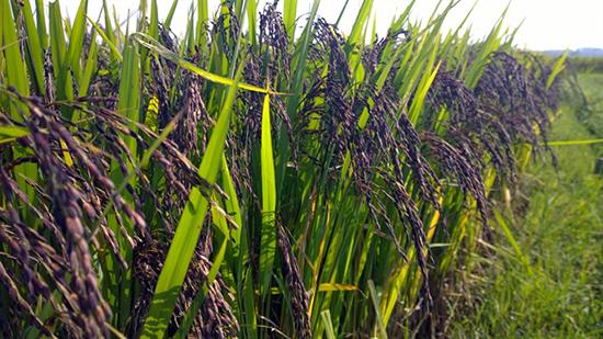 Lúa đen đủ ngày thu hoạch (Ảnh sưu tầm)