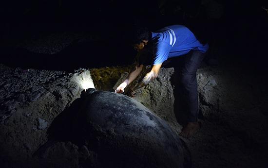 Kiểm lâm viên Lê Đức Du hỗ trợ rùa mẹ đẻ trứng và bấm thẻ theo dõi lên vây trước.  Ảnh: XUÂN THỌ