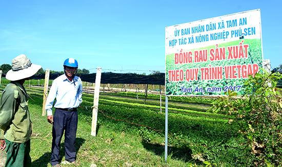 Hợp tác xã Nông nghiệp Phú Sen đang rất cần vay vốn theo Nghị định 55 để mở rộng quy mô sản xuất rau VietGAP. Ảnh: VIỆT NGUYỄN