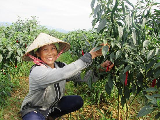 Hợp tác sản xuất gắn với tiêu thụ sản phẩm sẽ giúp nông dân yên tâm về chuyện đầu ra. Ảnh: VĂN SỰ