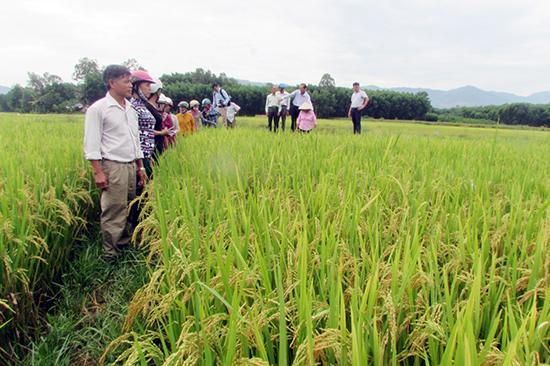 Nông dân thăm mô hình lúa giảm phát thải. Ảnh: VĂN PHIN