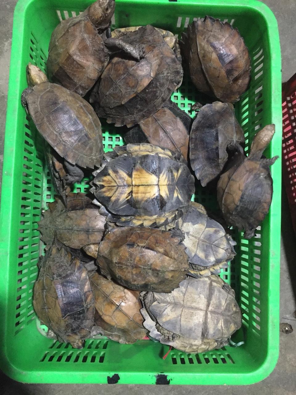 Một số cá thể rùa cơ quan chức năng thu giữ được tại trang trại bà Kim Cương. Ảnh: CA cung cấp