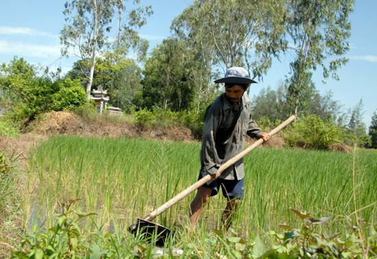 Nông dân xã Bình Giang tích cực chăm sóc cây nếp Hương. Ảnh: HỒ QUÂN