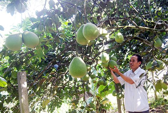 Chủ vườn Nguyễn Thanh Hương phấn chấn bên những cây thanh trà sai trái ở vườn nhà.