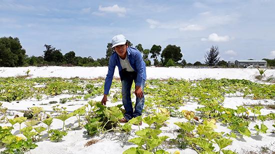 Anh Nguyễn Phương Trung (xã Bình Trung, Thăng Bình) chăm sóc giống bí đỏ Kuriyama - Nhật trồng trên cát. Ảnh: CHÂU TẤN