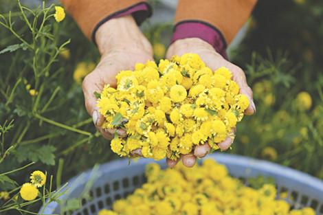 Cúc hoa - vị thuốc hay được dùng làm ruột gối
