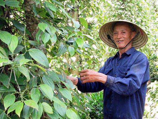 Mô hình trồng tiêu chuyên canh của ông Nguyễn Ngọc Ân (Duy Thu, Duy Xuyên) hằng năm cho thu nhập 80 - 120 triệu đồng. Ảnh: VĂN SỰ
