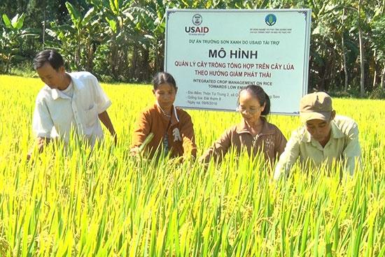 Mô hình sản xuất lúa tiên tiến ở huyện Nông Sơn. Ảnh: T.L