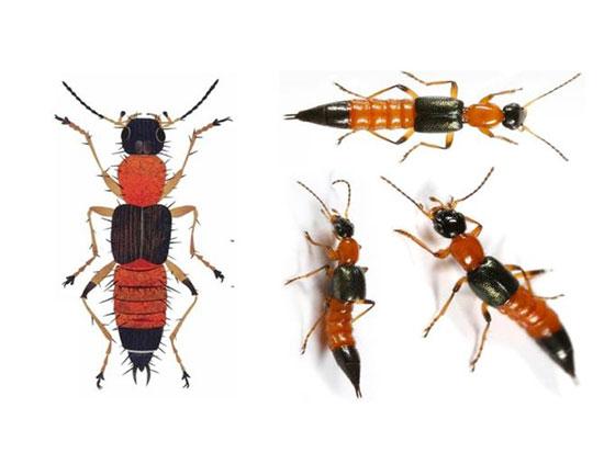 Hình ảnh kiến ba khoang.