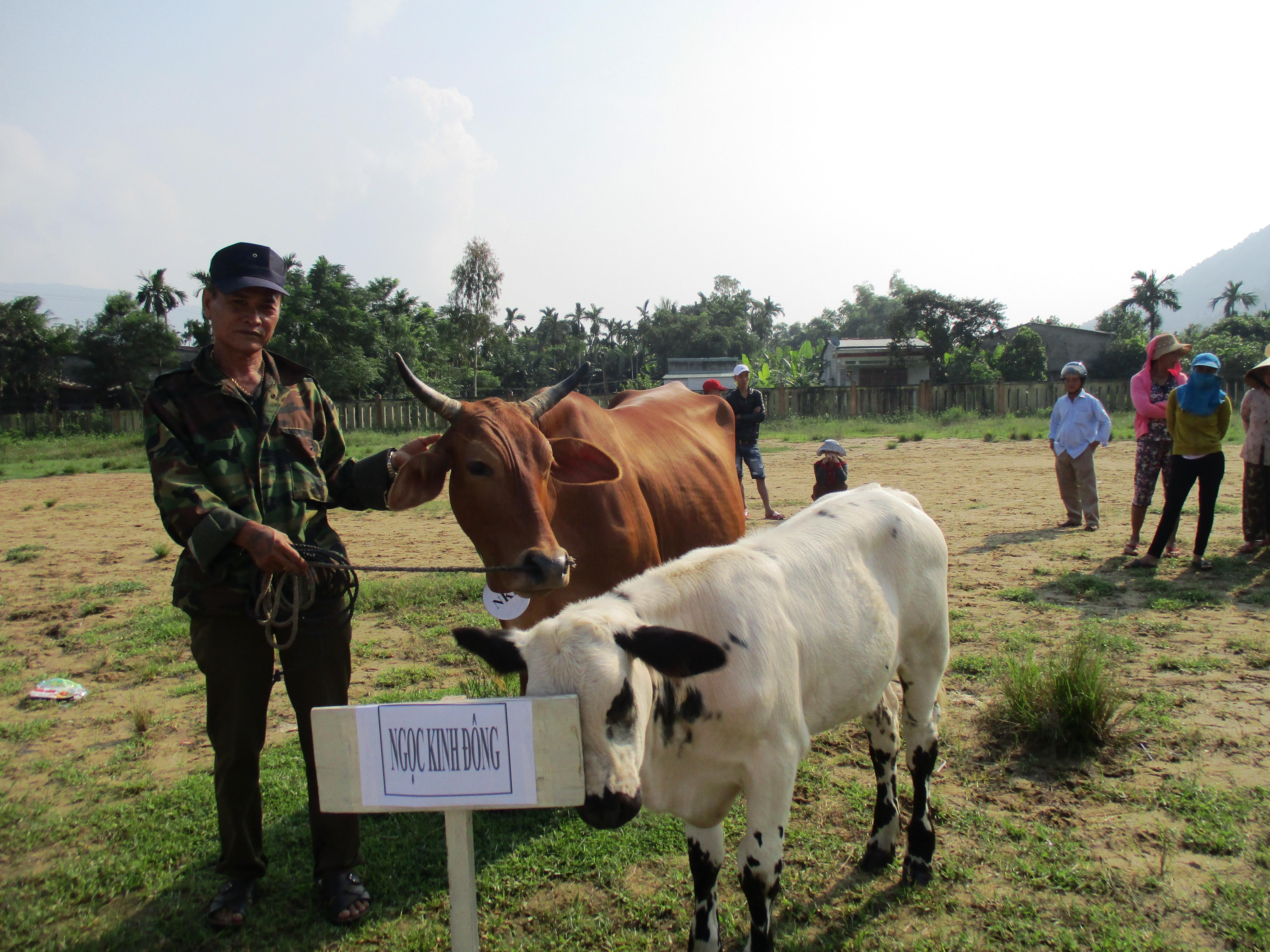Thí sinh bò đẹp, bò khỏe của thôn Ngọc Kinh Đông. Ảnh: HOÀNG LIÊN