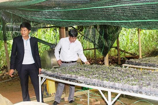 Mô hình vườn ươm ba kích tại xã Lăng, Tây Giang. Ảnh: HOÀNG LIÊN