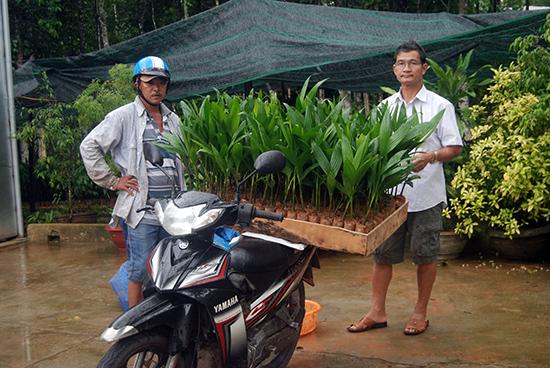 Anh Tiên – một người mua trái cau non bán cho các lò sấy cau xuất khẩu đang mua cây cau con của ông Hai Tùng để đổi lấy trái cau non thay vì trả bằng tiền theo yêu cầu của người bán cau non.