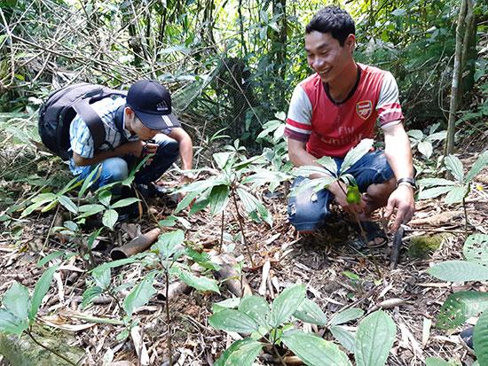 Người dân thôn 6, xã Phước Lộc, Phước Công trồng cây sâm bảy lá một hoa dưới tán rừng. Ảnh: HOÀNG LIÊN