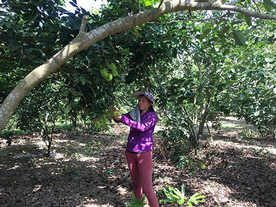 Quýt đường và chôm chôm là các loại cây đem lại thu nhập ổn định cho gia đình anh Tùng.