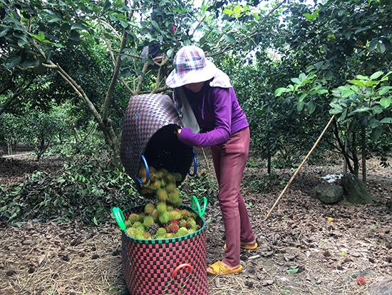 Chôm chôm là loại trái cây Nam Bộ đầu tiên được trồng ở Núi Thành, Quảng Nam.