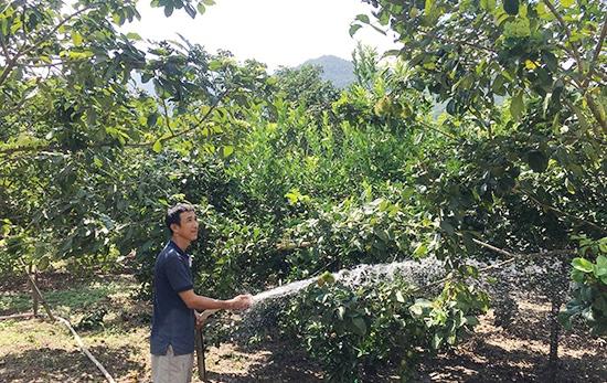 Anh Tùng thường xuyên tưới nước, bón phân một cách khoa học để vườn cây phát triển tốt nhất. Ảnh: VĂN VIỆT