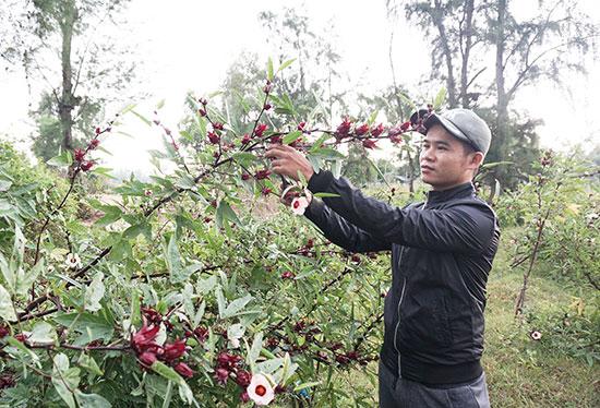 Anh Vương Hùng Hiếu (phường Điện Dương, thị xã Điện Bàn) với 3 sào cây atiso đỏ cho rất nhiều quả. Ảnh: N.T