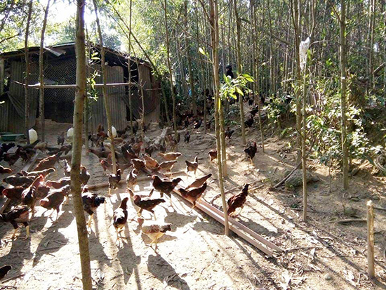 Mô hình gà thả vườn của anh Hiền đem lại hiệu quả kinh tế cao.