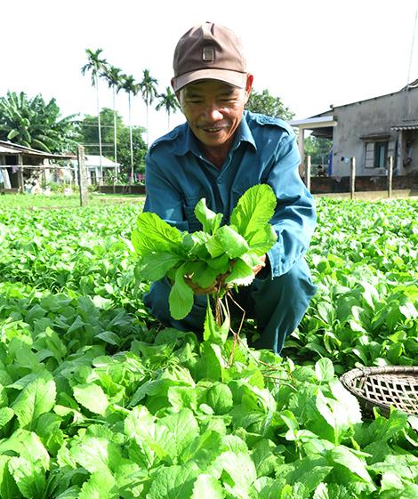 Ông Nguyễn Văn Nam đang thu hoạch rau cải đường. Ảnh: LÊ NGỌC PHƯỚC.