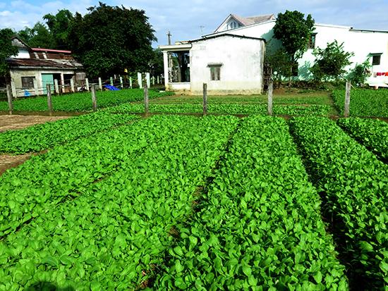 Một góc vùng chuyên canh rau sạch của người dân khu dân cư kiểu mẫu thôn Quảng Đại 2. Ảnh: LÊ NGỌC PHƯỚC.