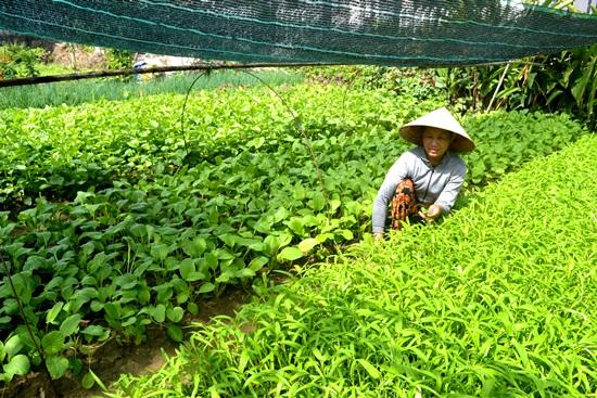 Rau hữu cơ ở gia đình bà Nguyễn Thị Đông. Ảnh: QUANG VIỆT