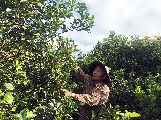 Ngoài thu nhập từ quả chanh, hiện nay cụ Ánh còn chiết nhánh bán giống. Ảnh: VĂN VIỆT