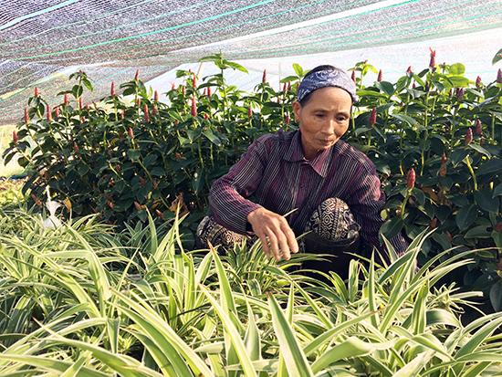 Chăm sóc hoa vụ tết ở vườn ươm Sơn Na, thôn An Trung, xã Duy Trung, huyện Duy Xuyên.  Ảnh: KIỀU TRANG