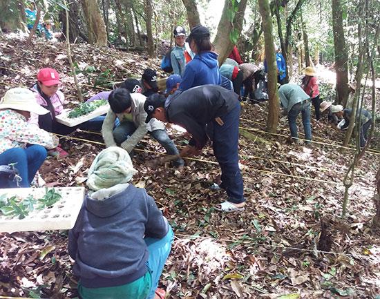 Người dân trồng sâm Ngọc Linh ở Nam Trà My. Ảnh: H.Q